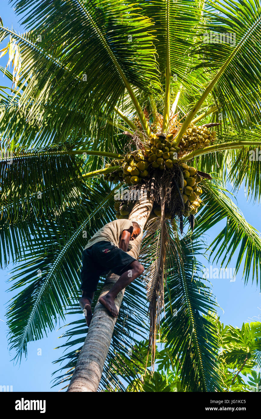 Famous Gecko man climbing on a coconut tree, Korovou Eco-Tour Resort, Naviti, Yasawas, Fiji, South Pacific - Stock Image