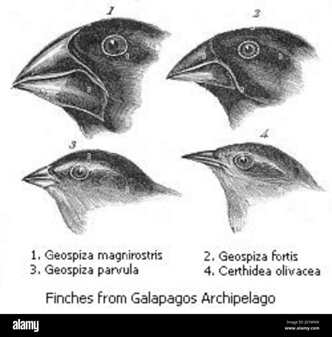 Darwin s finches - Stock Image