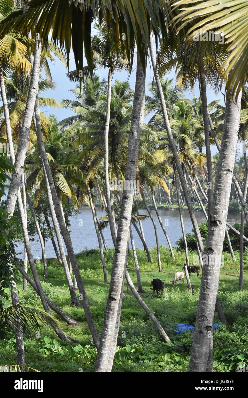 Coconut trees in Kerala Stock Photo