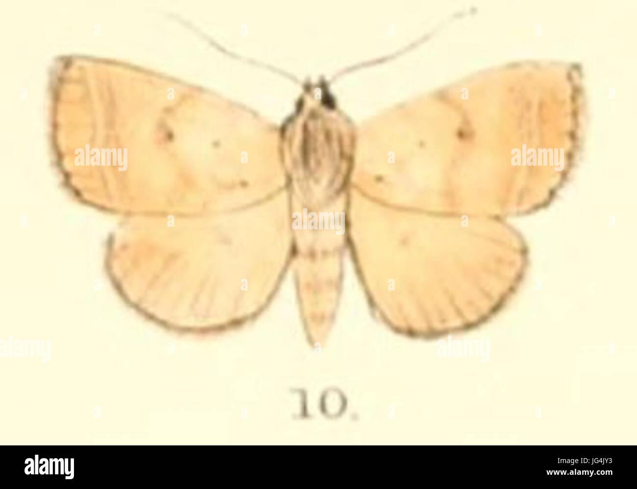 Pl.5-10-Plecoptera uniformis 28Moore 188 9 28Poaphila29 - Stock Image