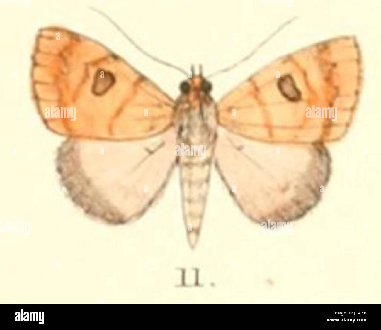 Pl.5-11-Plecoptera oculata 28Moore 188 9 28Poaphila29 - Stock Image