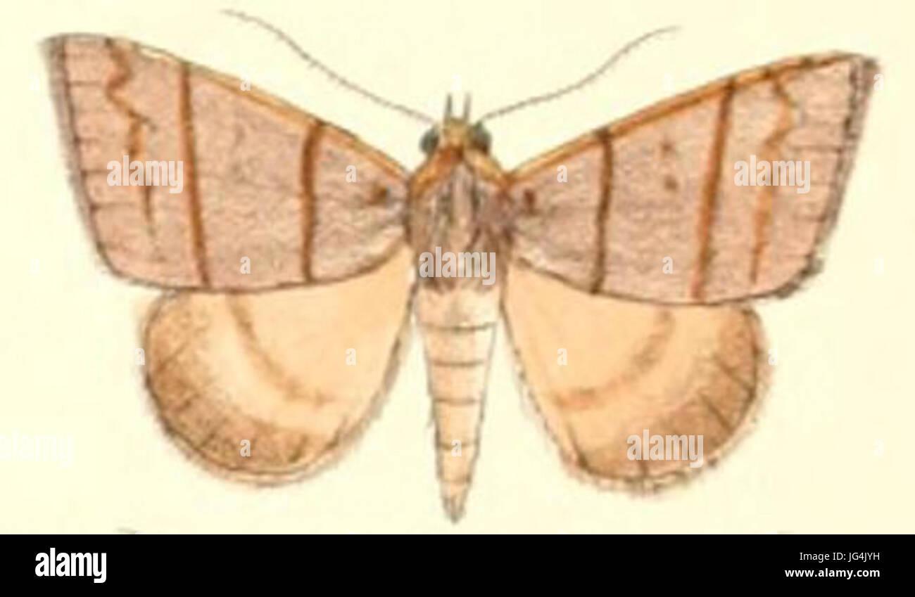 Pl.5- -Plecoptera quadrilineata 28Moore 188 9 28Poaphila29 - Stock Image