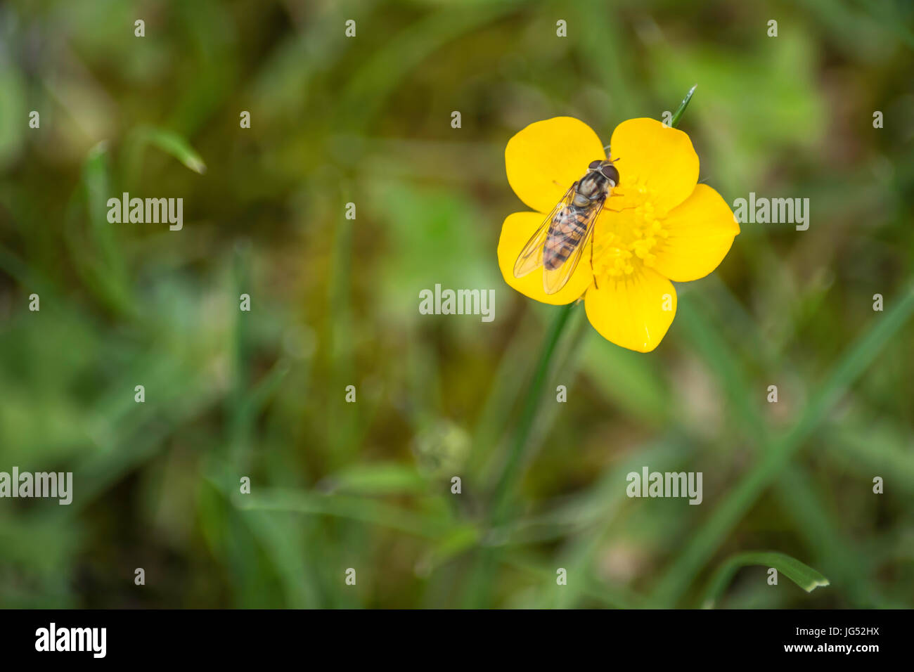 Buttercup flower being pollinated by a wasp - Stock Image