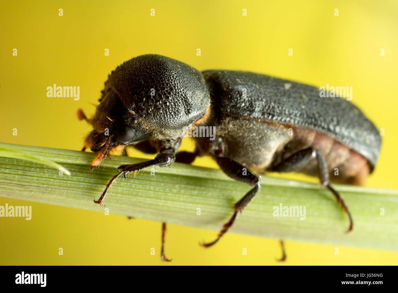 Black beetle macro photograph - Stock Image