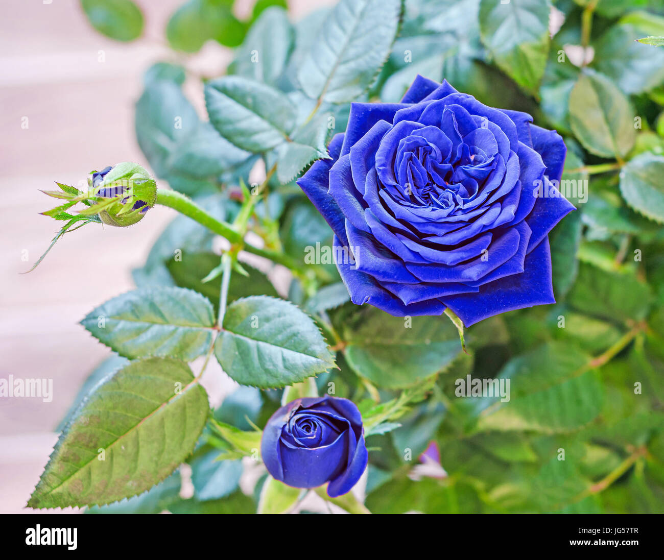 Blue Roses Flower Bush With Buds In A Brown Vase Flowerpot Green