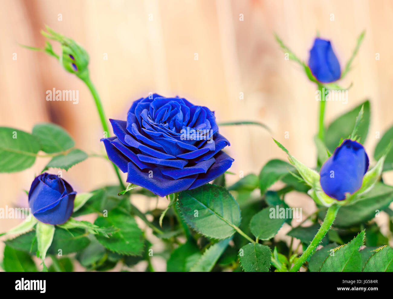1c0482afd Blue roses flower bush with buds in a brown vase, flowerpot, green leaves,