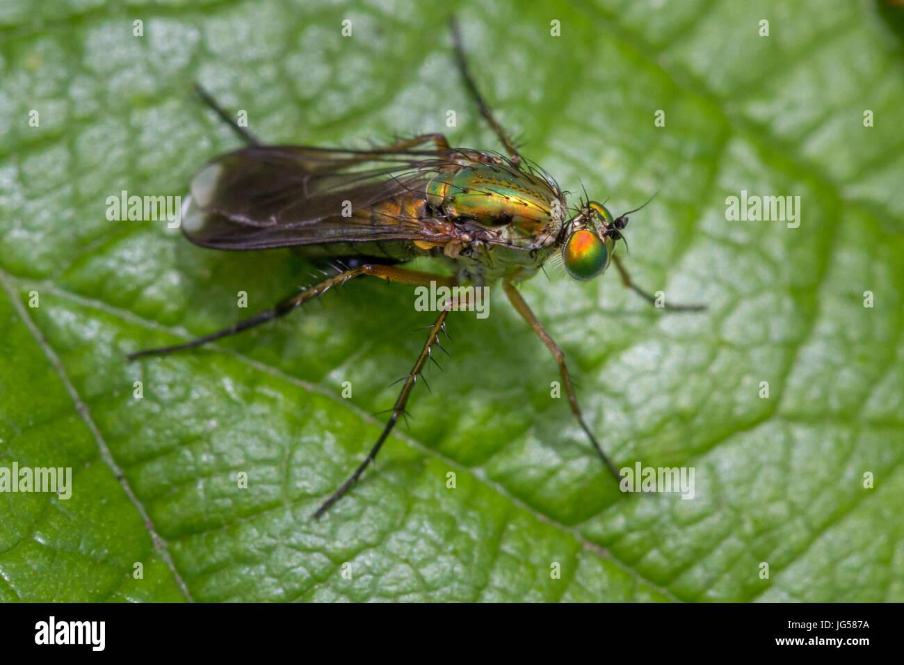 UK wildlife: attractive male semaphore fly (Poecilobothrus nobilitatus)   With lime green thorax & beautiful - Stock Image