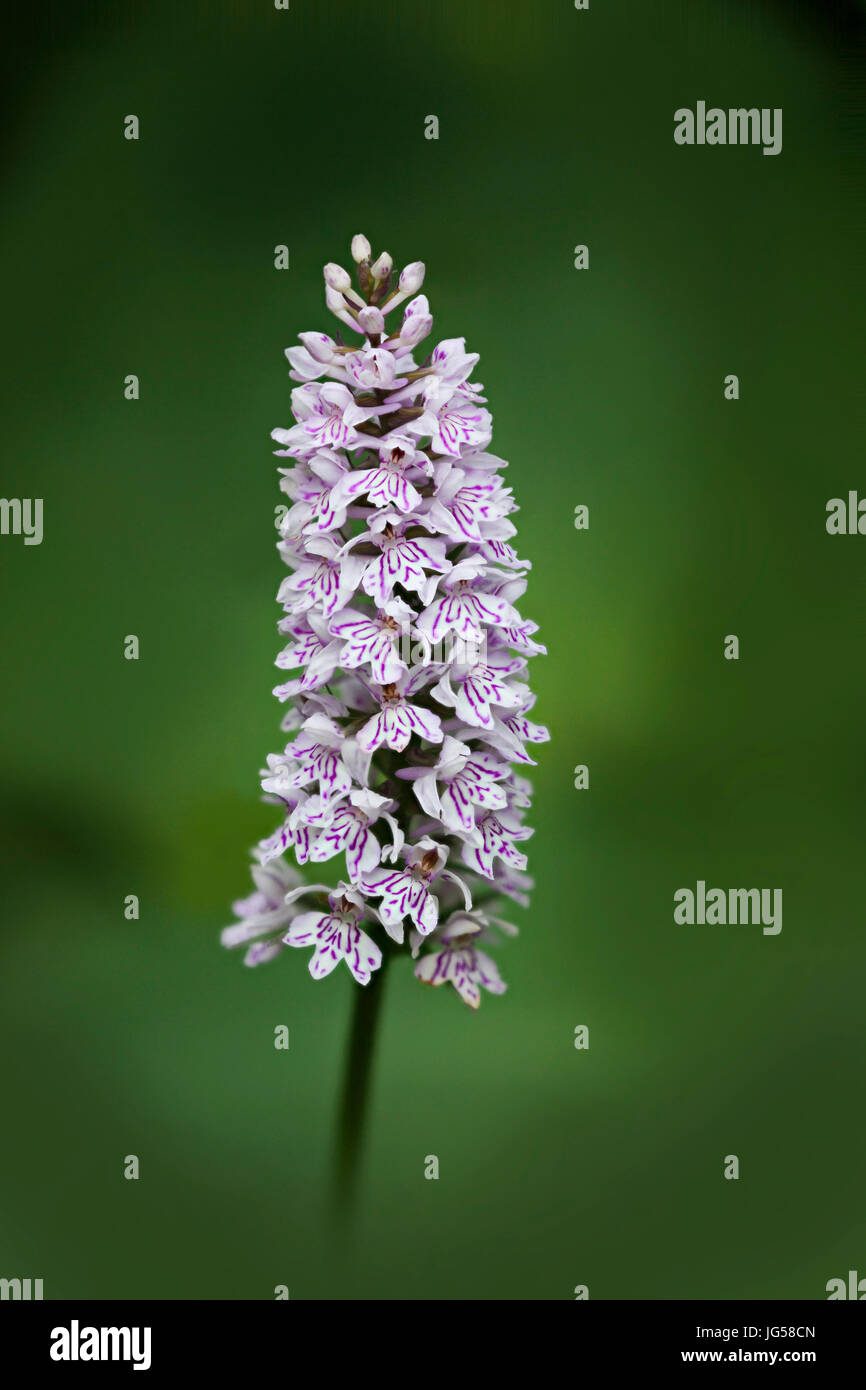 Dactylorhiza fuchsii, the common spotted orchid, is a species of flowering plant in the orchid family Orchidaceae. - Stock Image
