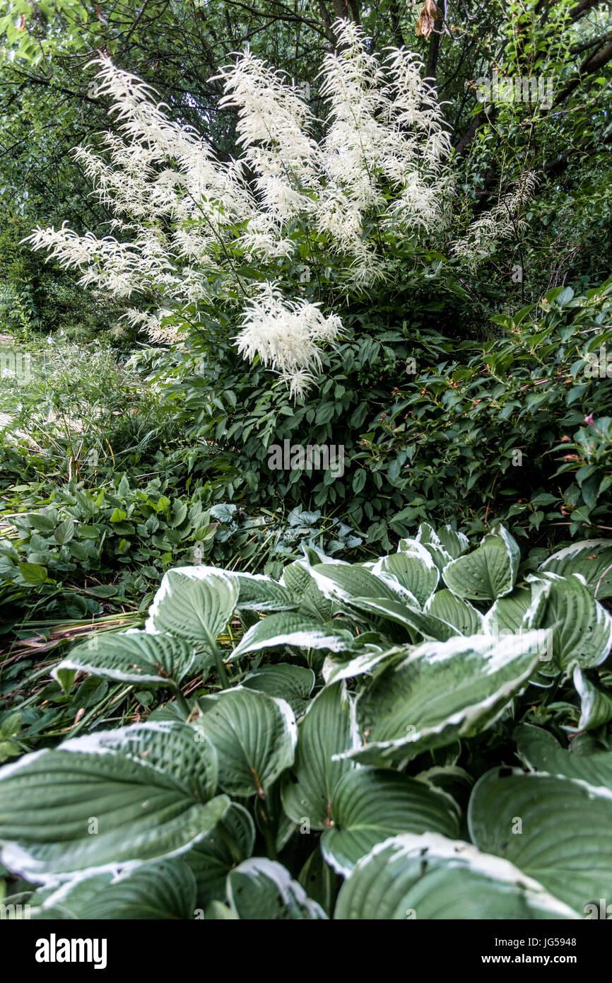 Aruncus vulgaris, Hosta perennial plant - Stock Image