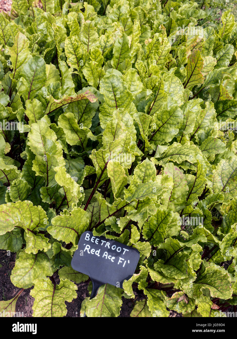 BEETROOT RED ACE Beta vulgaris 'Red Ace' F1 very strong grower will do well in most sites and soils, and - Stock Image