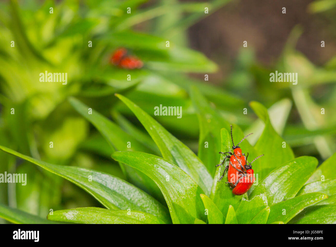 Two pairs of red beetles reproduce on green leaves - Stock Image