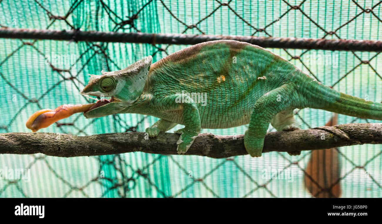 Parson's chameleon (Calumma parsoni) eats an insect, Vakona Reserve, Madagascar - Stock Image