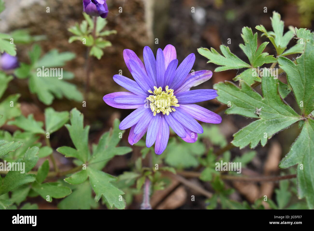 Purple flowers with yellow center stock photos purple flowers with purple daisy wind flower with yellow center stock image mightylinksfo