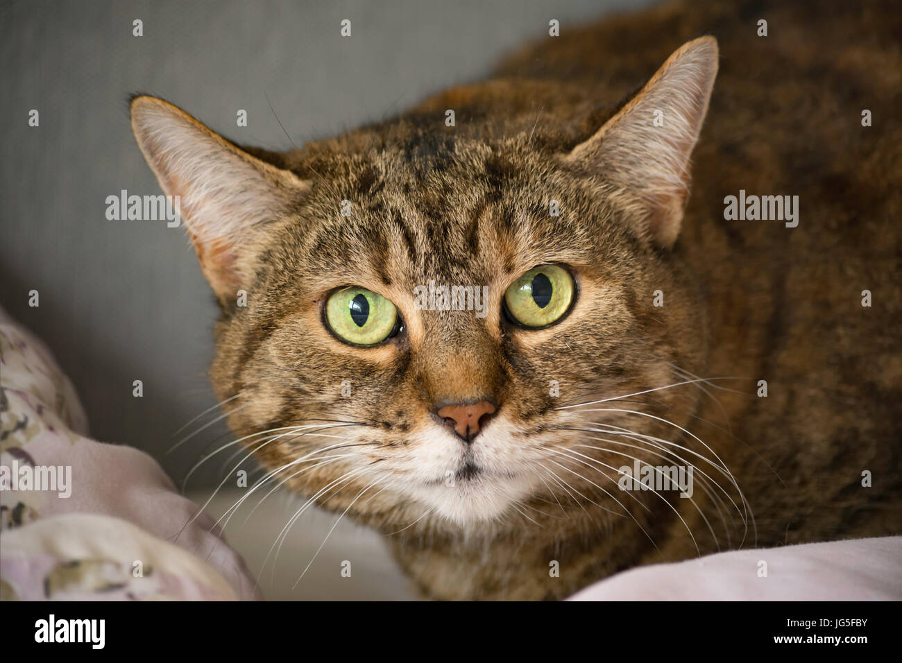 Tabby cat resting with lovely green eyes Stock Photo