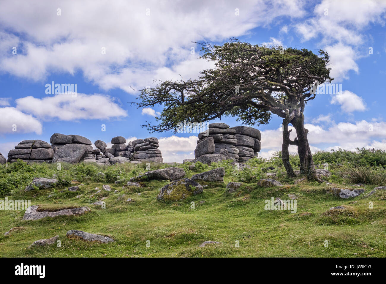 Winswept hawthorn tree at Combestone Tor, Dartmoor, Devon, UK. - Stock Image