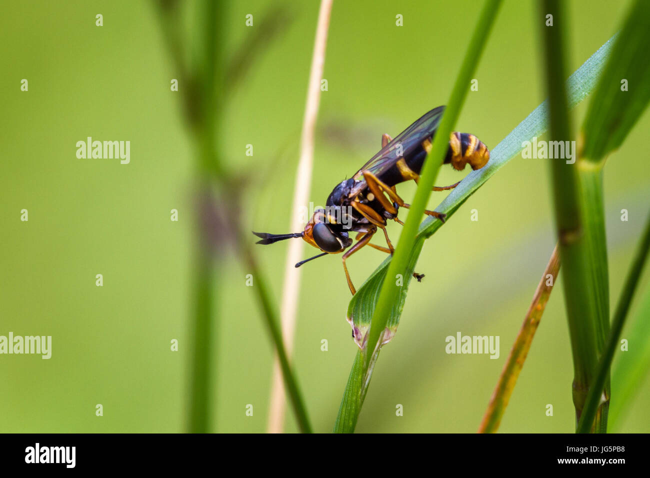 UK wildlife: a wasp mimic, Conops quadrifasciatus is a parasitoid fly whose larvae are internal parasites of bumblebees, - Stock Image