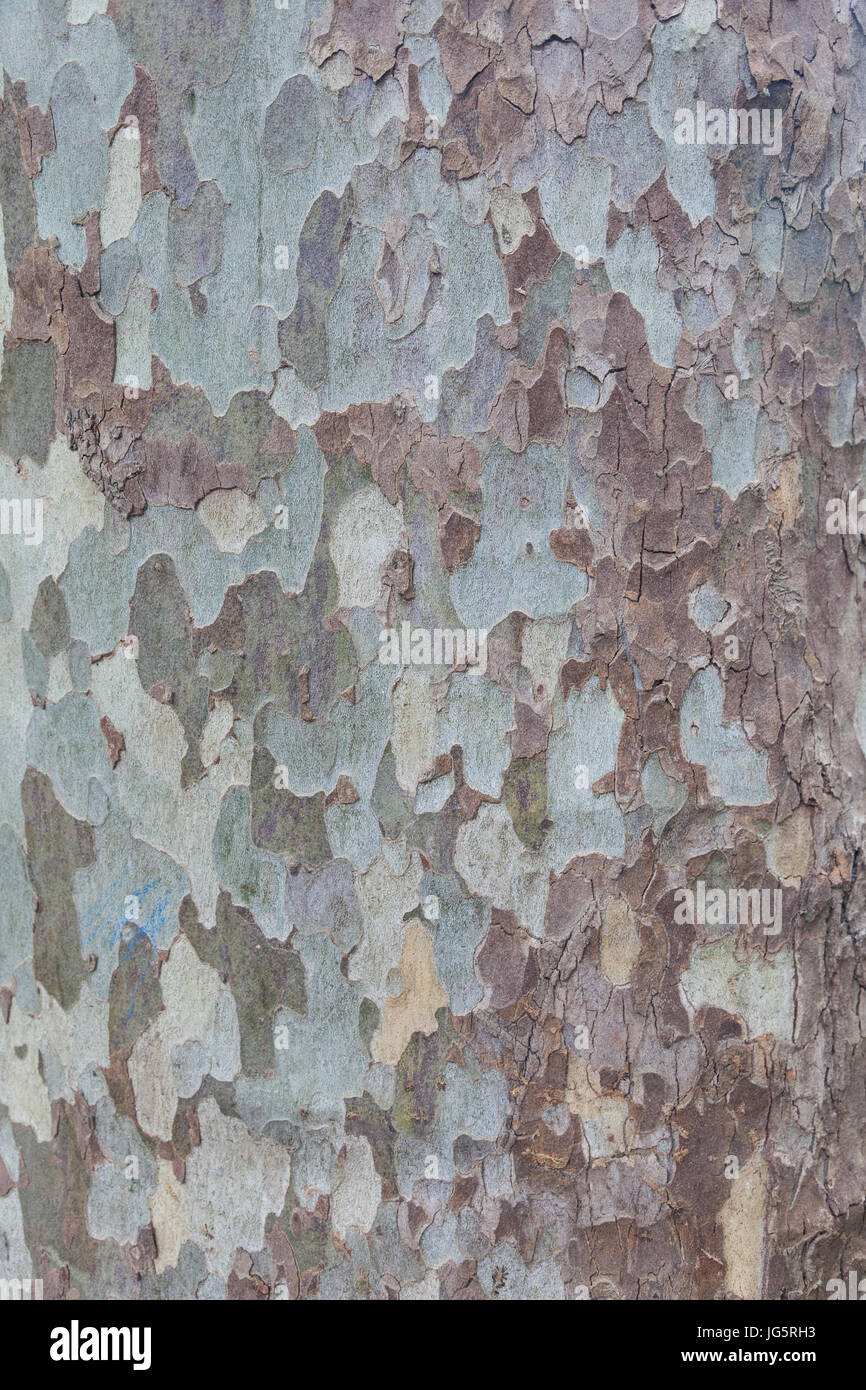Close up of london plane bark - Stock Image