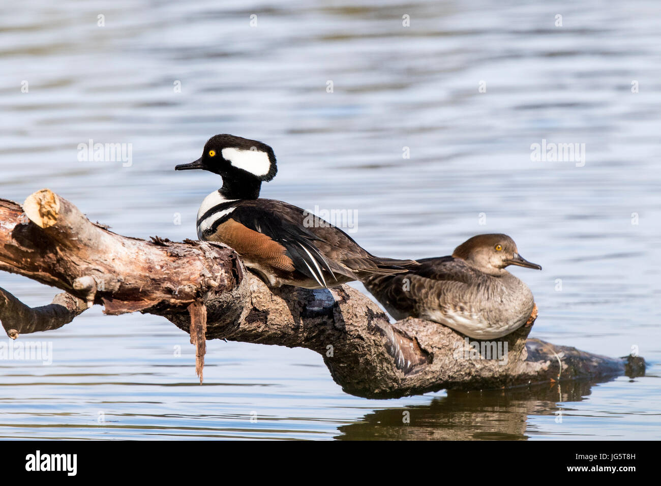 Bird Hooded Merganser, Lophodytes cucullatus male and female on Kah Tai Lagoon in Port Townsend, Washington. - Stock Image