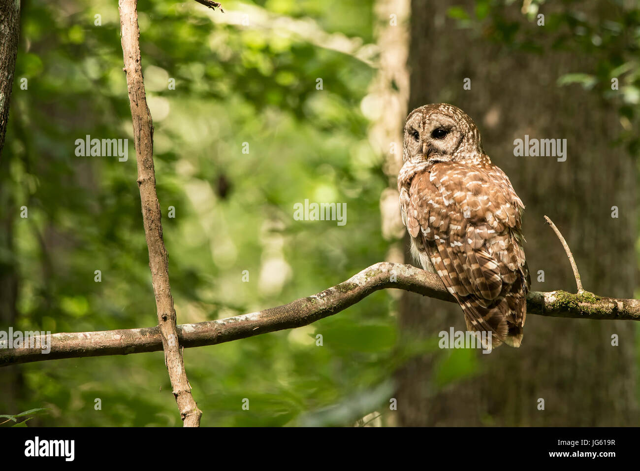 A Barred Owl sits on a branch in Congaree National Park, South Carolina. Stock Photo