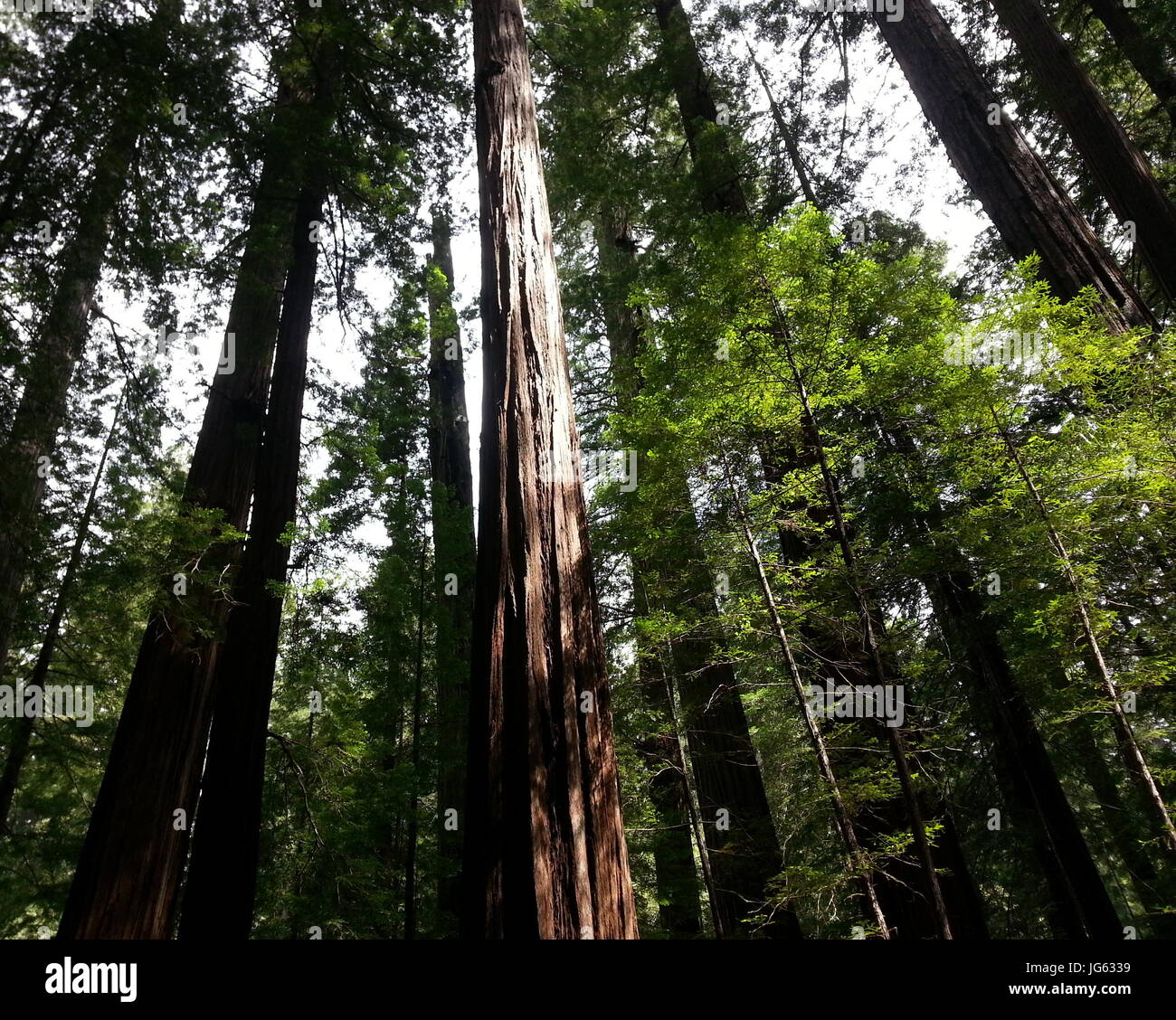 Magnificent Redwoods - Stock Image