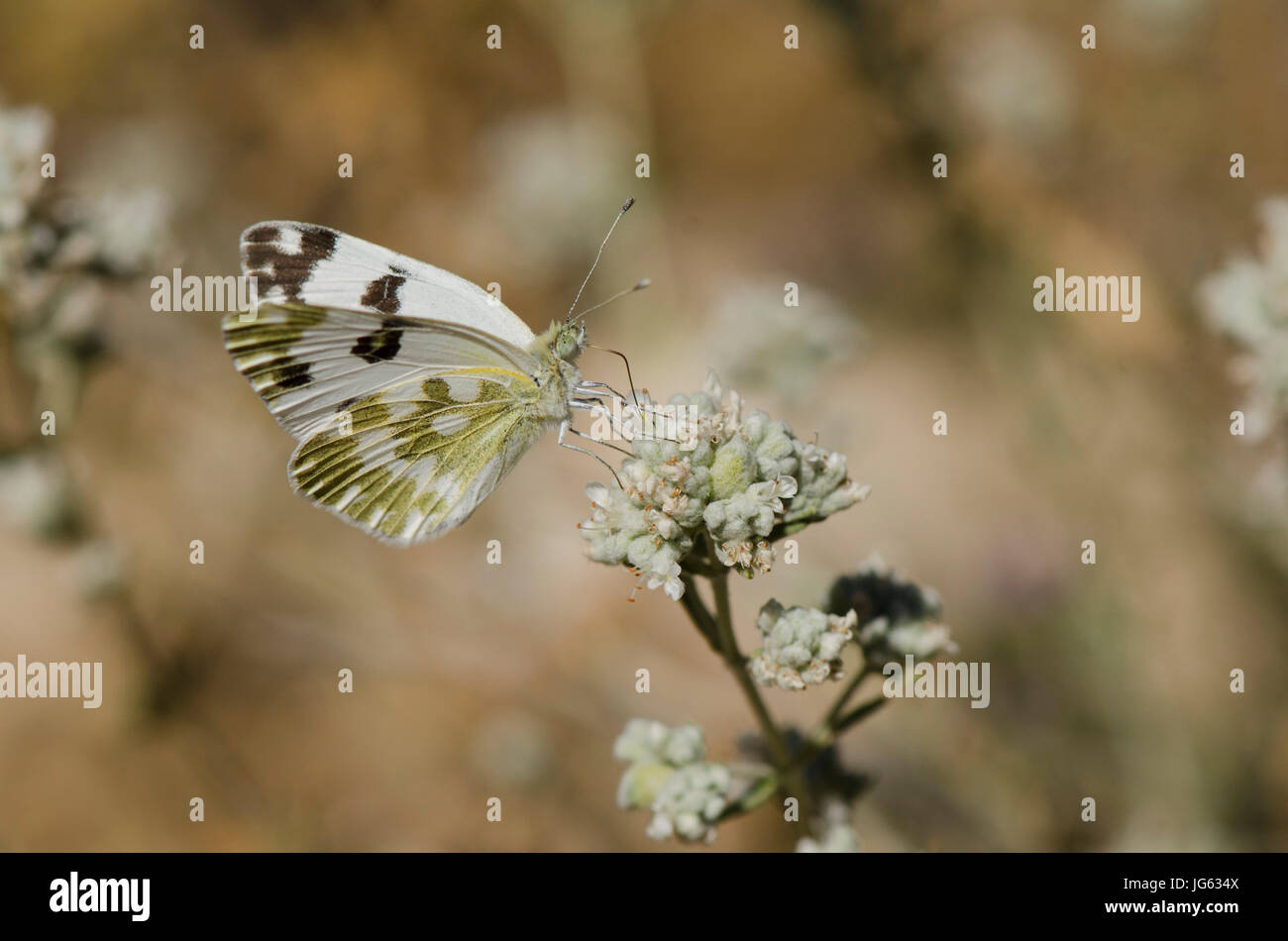 Bath White, Pontia daplidice butterfly on sage plant, Andalusia, Spain Stock Photo