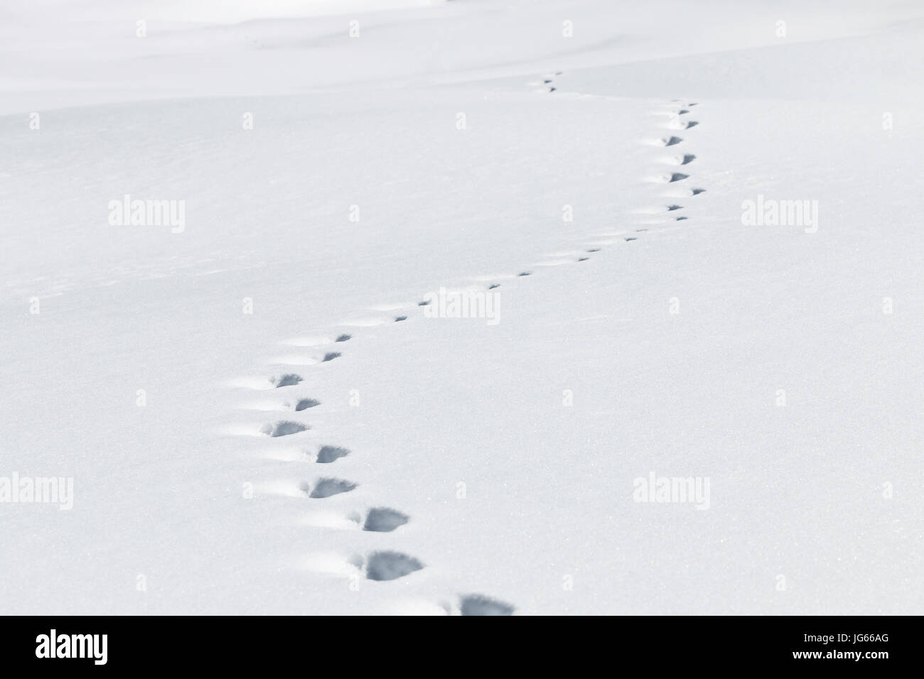 Animal tracks are left in the snow in Routt National Forest, Colorado. - Stock Image