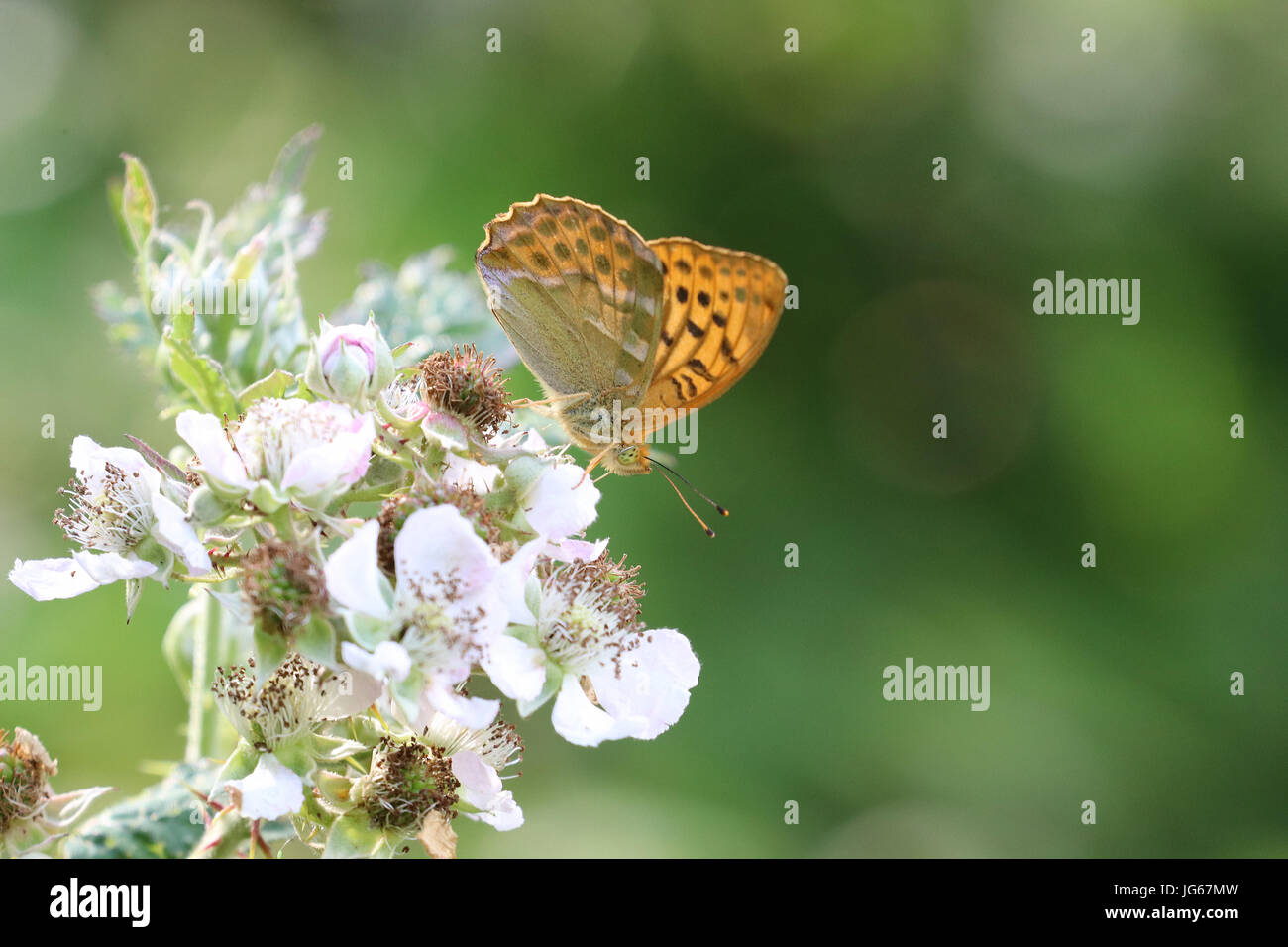 Silver washed fritillary butterfly Argynnis paphia Stock Photo