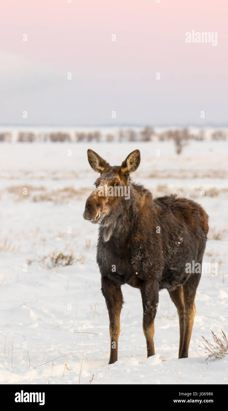Cow moose standing in deep snow in early morning light - Stock Image