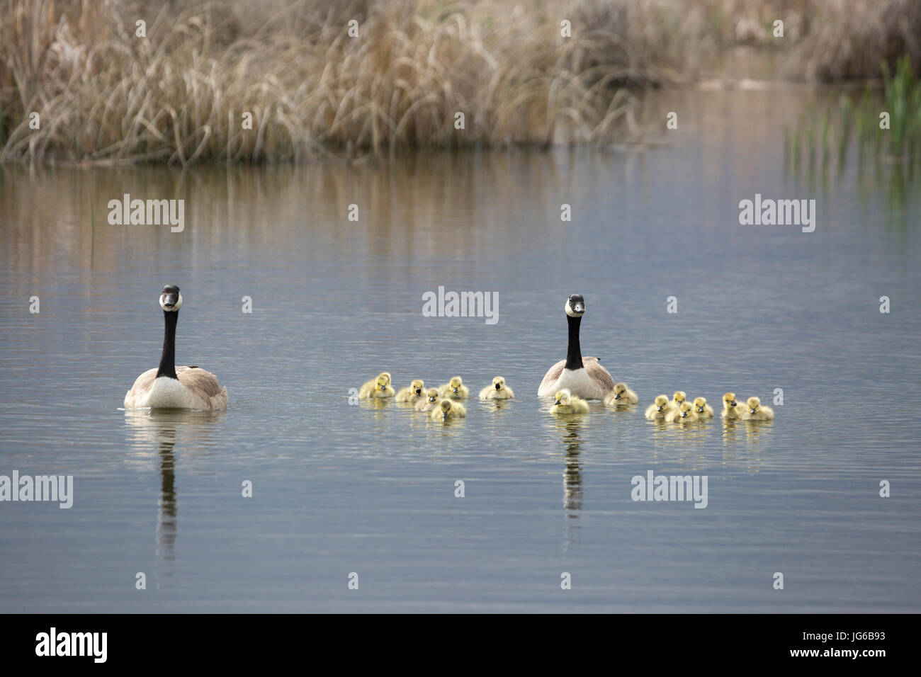 Canada geese parents swimming with creche of goslings (Branta canadensis) - Stock Image