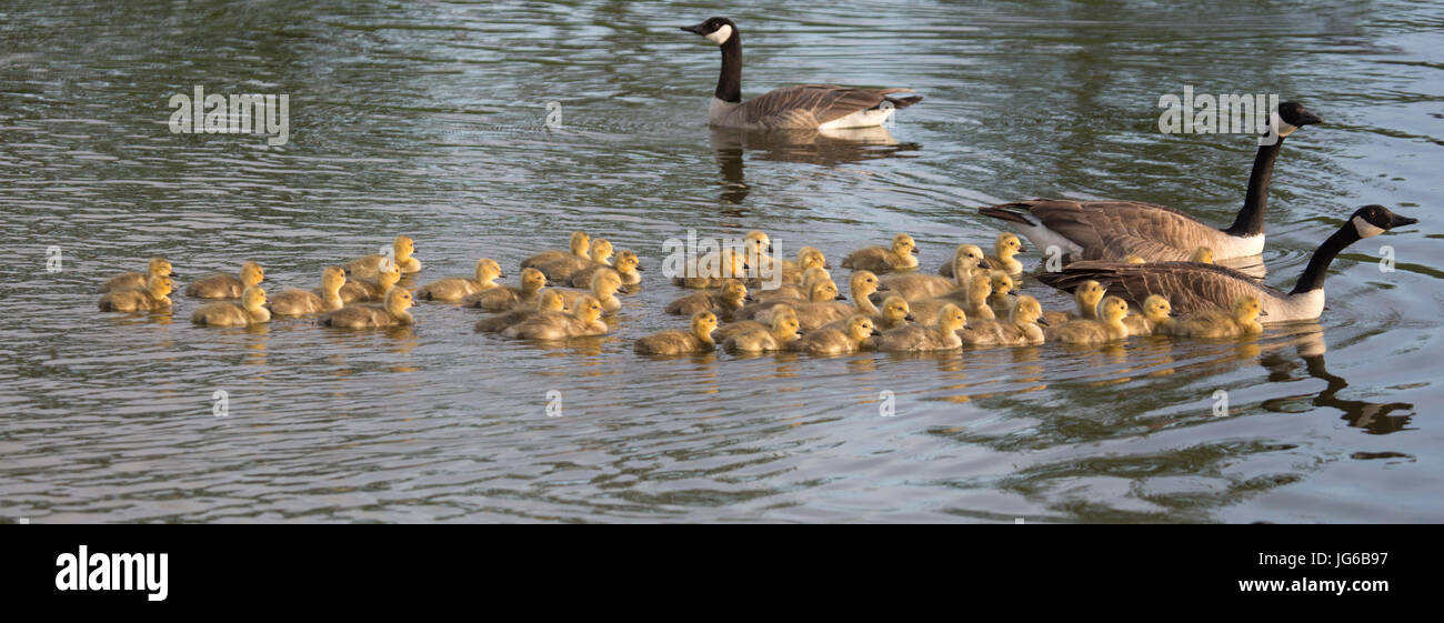 Canada geese parents swimming in stormwater treatment pond with creche of goslings in East Village (Branta canadensis) Stock Photo