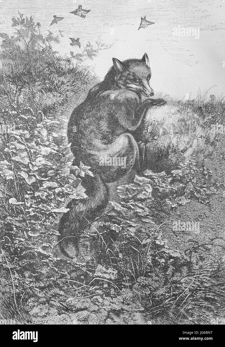 Digital improved:, illustration of a red fox, Vulpes vulpes, in the nature, illustration from the 19th century Stock Photo