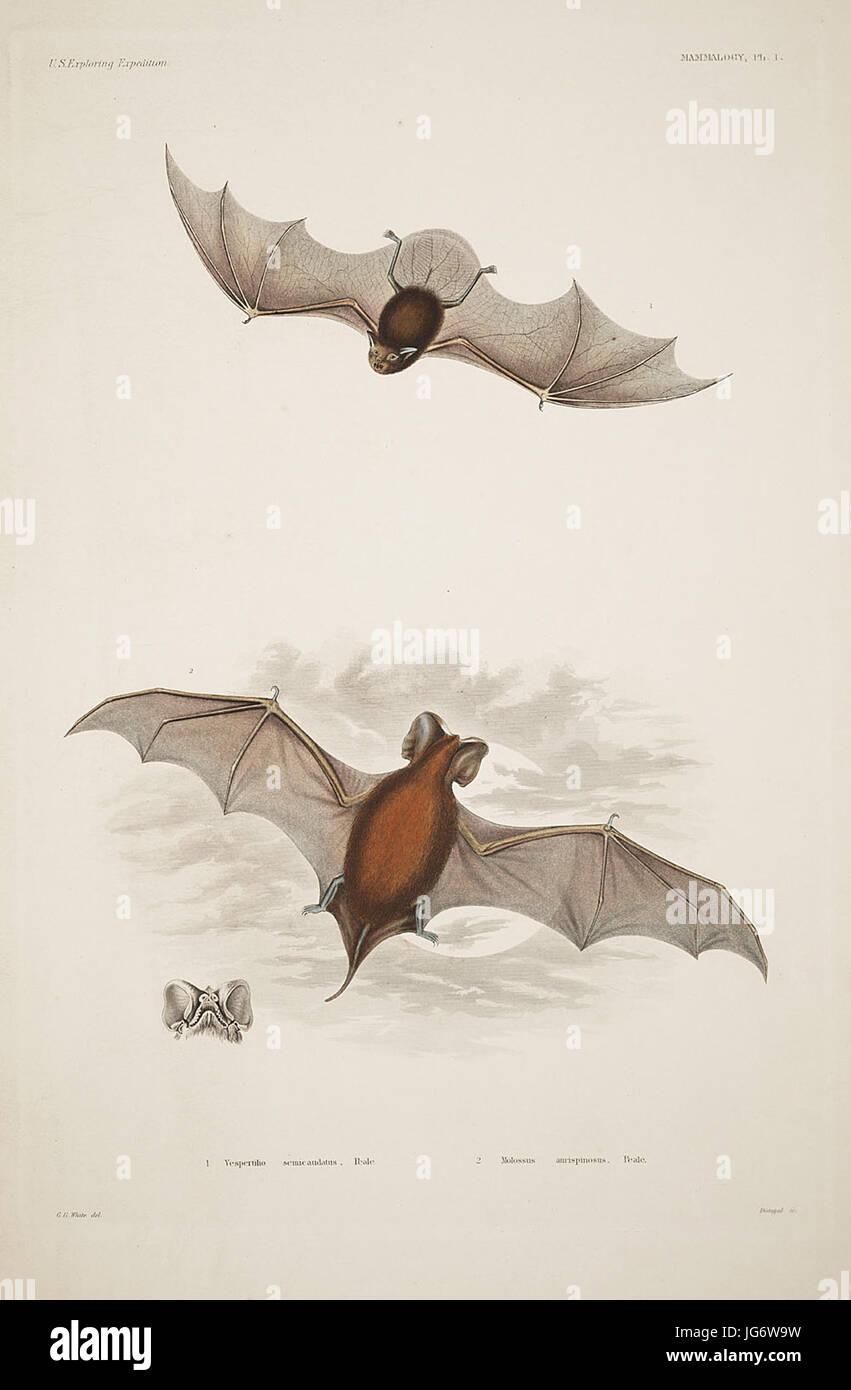 Mammalogy and Ornithology. Mammalogy. Plate 1 - Stock Image