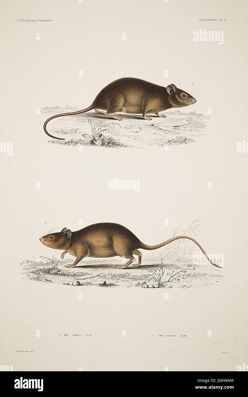 Mammalogy and Ornithology. Mammalogy. Plate 4 - Stock Image