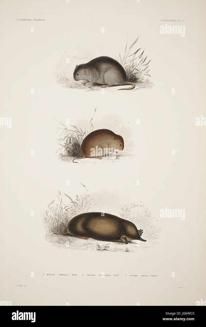Mammalogy and Ornithology. Mammalogy. Plate 8 - Stock Image