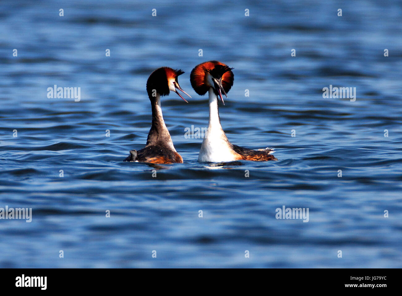 The great crested grebe on Crna Mlaka fishpond - Stock Image