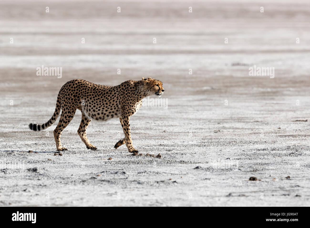 A cheetah (Acinonyx jubatus) walks across a dry river bed  in the Serengeti Tanzania Stock Photo