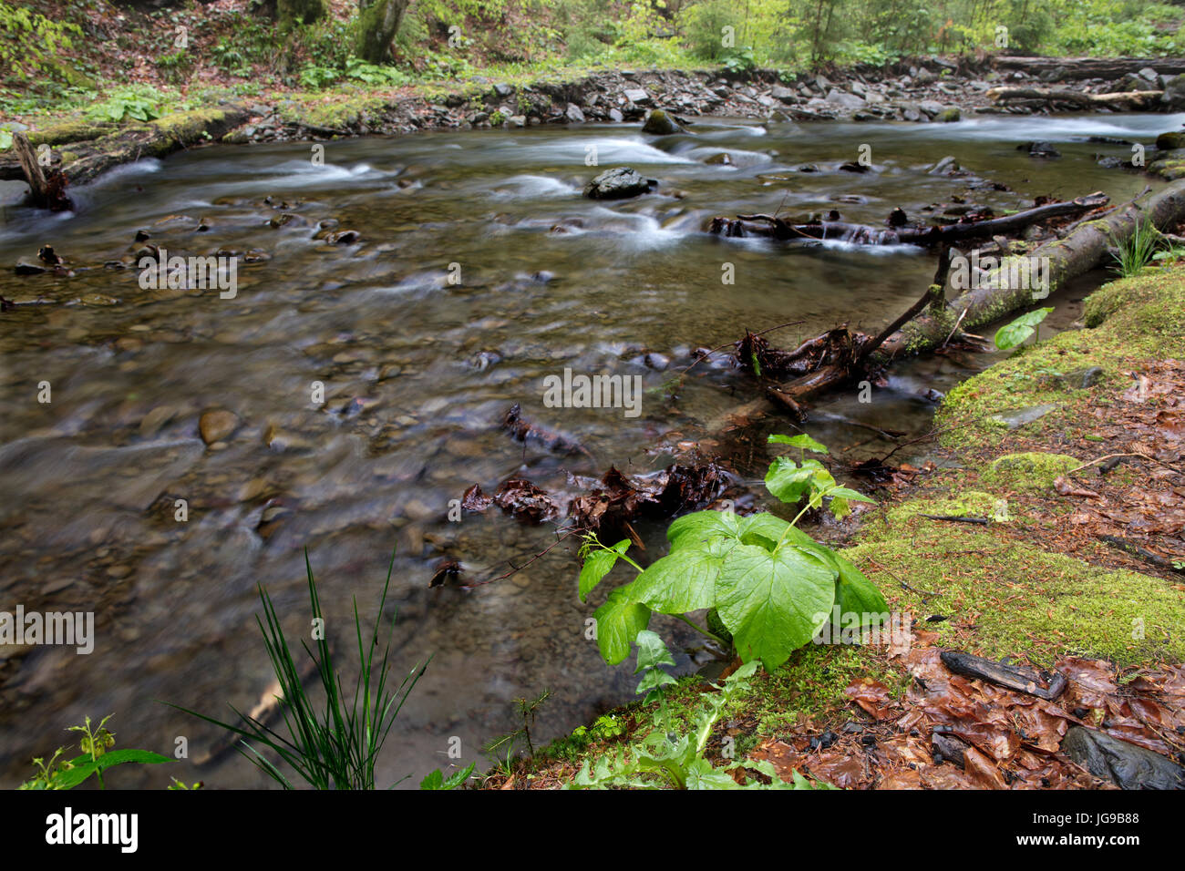 In the forest, at the water's edge, a small young plant grows on the shore of swift mountain river. - Stock Image