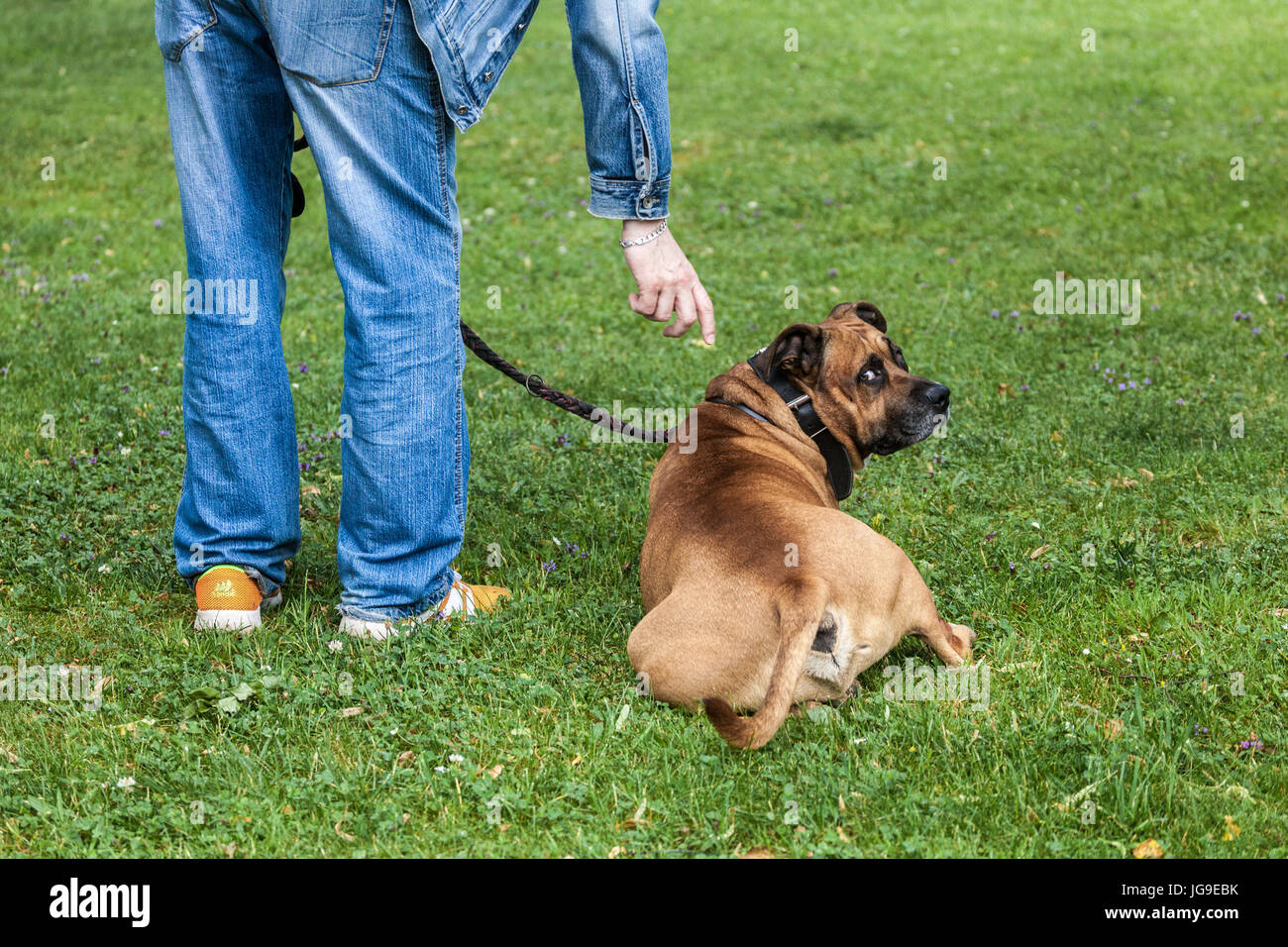 Dog owner trains his Staffordshire Terrier. The dog watching me - Stock Image