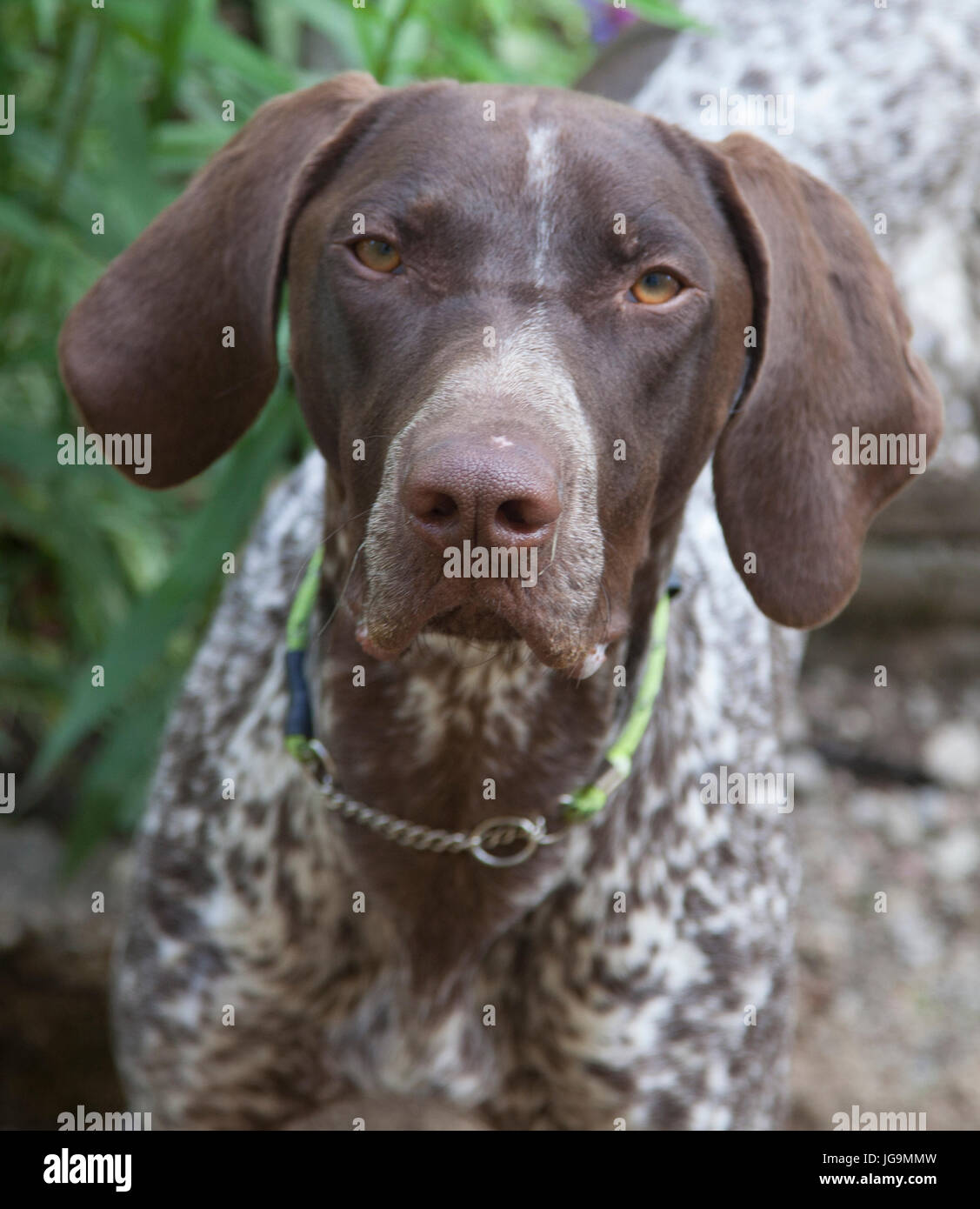 POINTER offen called the English pointer is a medium large-sized breed of dog for hunting birds. Stock Photo