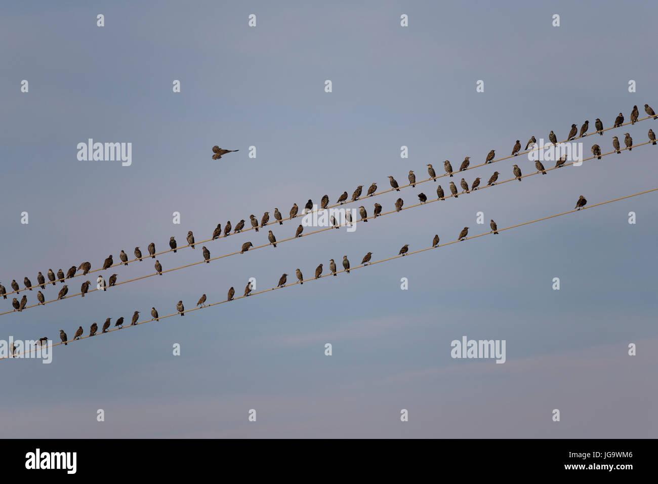 Star, Stare, Trupp, Schwarm, Starenschwarm, Sturnus vulgaris, European starling, common starling, L'Étourneau sansonnet Stock Photo