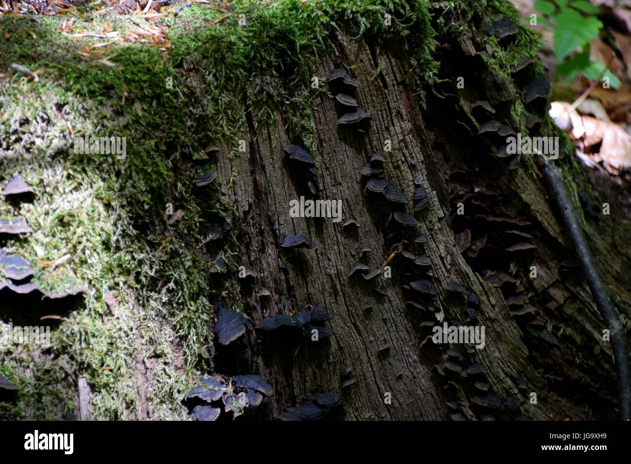 alter Baumstamm / old tree trunk - Stock Image