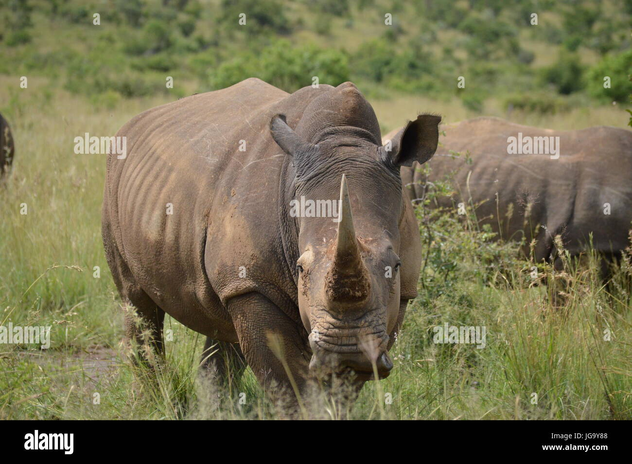 White Rhinoceros in Pilansberg National Park - Stock Image