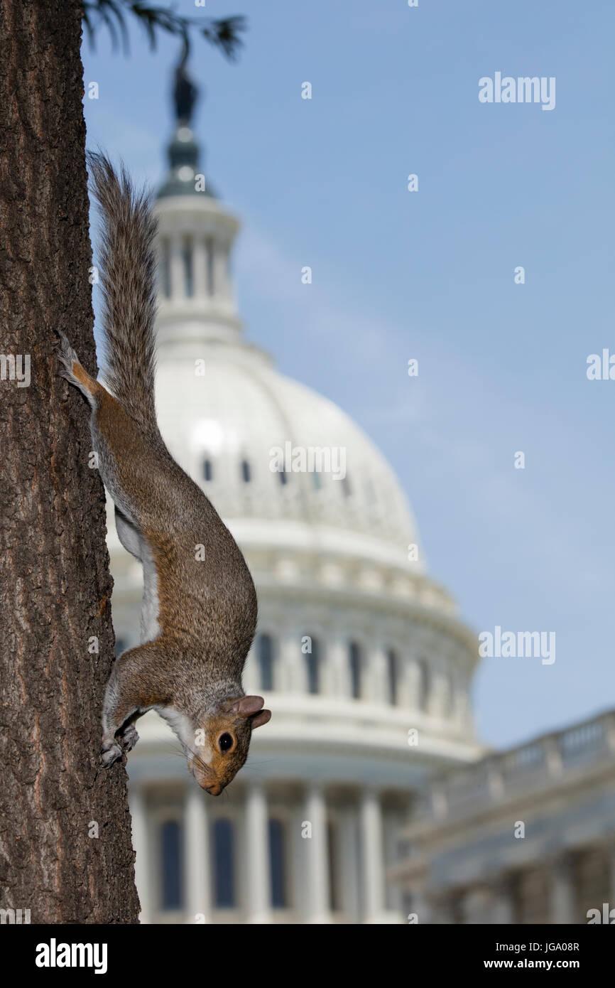 Gray squirrel (Sciurus carolineses), Washington DC, with U.S. capitol building in the background - Stock Image