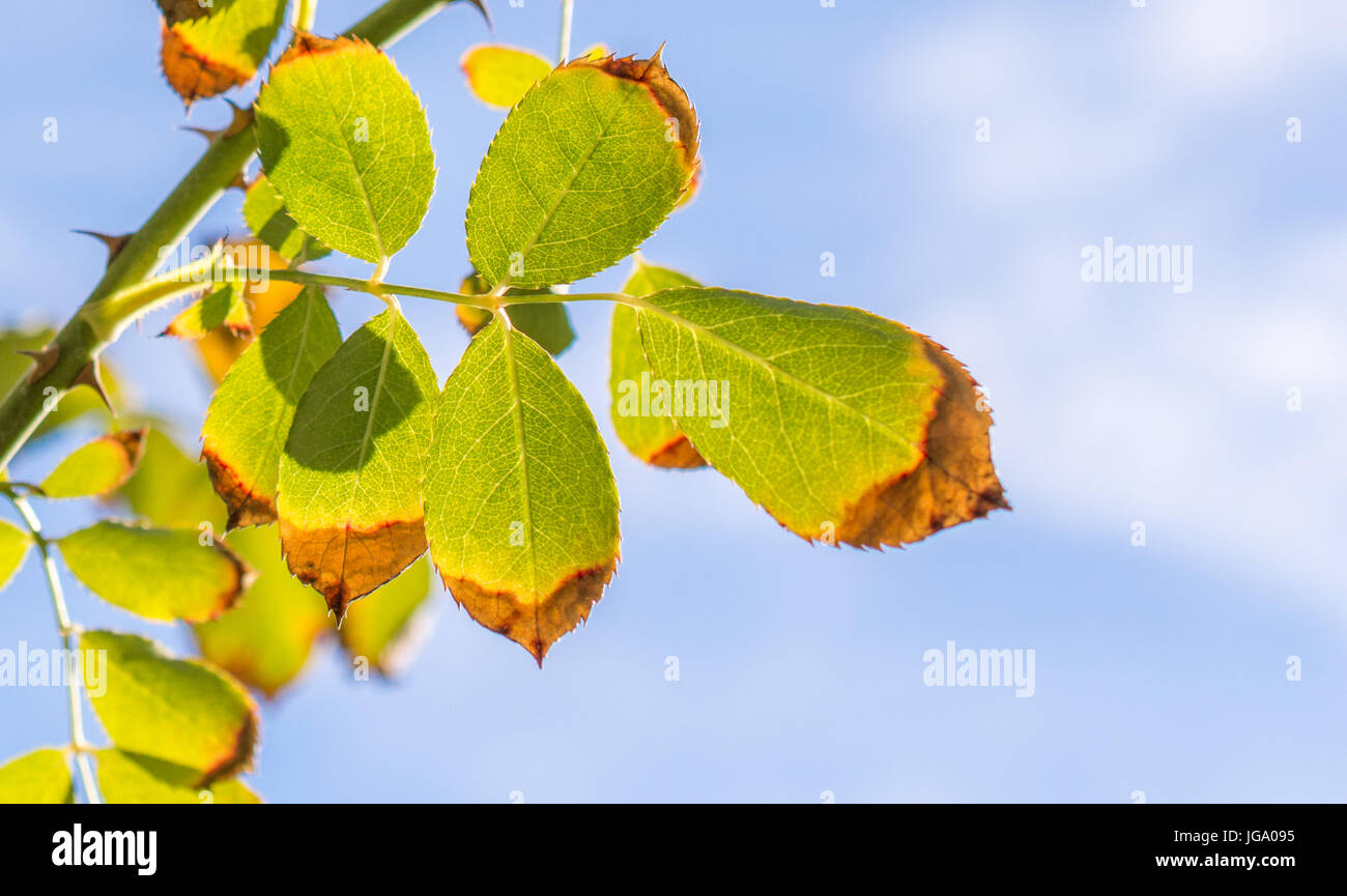 close up of green and brown leaves with sun shining  through them - Stock Image