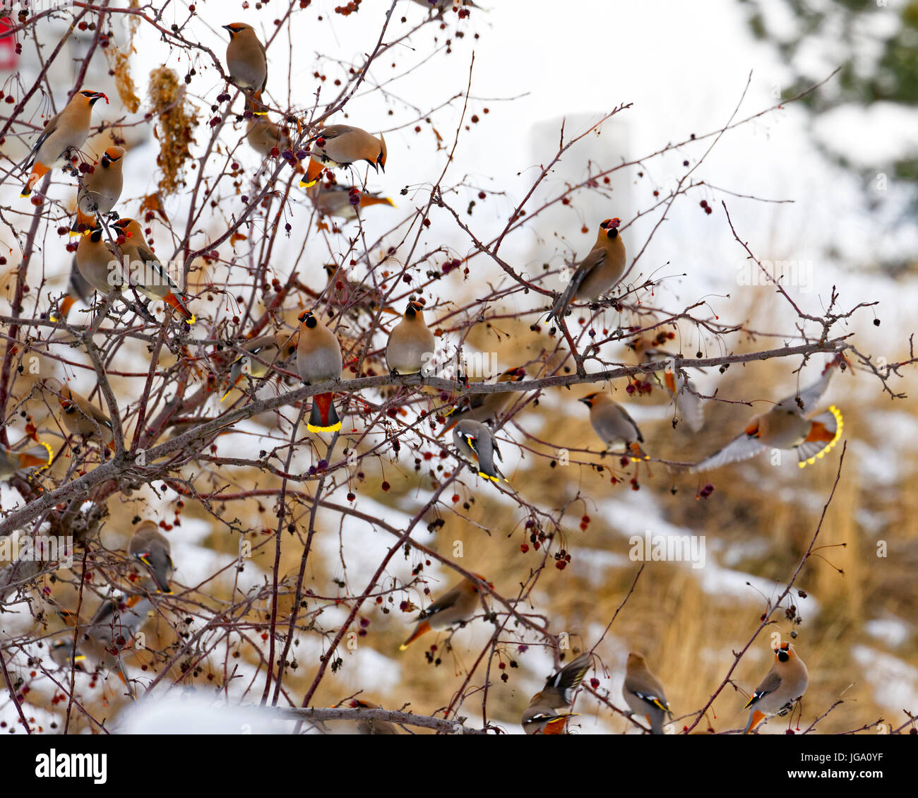 42,741.07552 A frenzied flock of birds -- Bohemian Waxwings -- feeding voraciously on red berries just before the - Stock Image