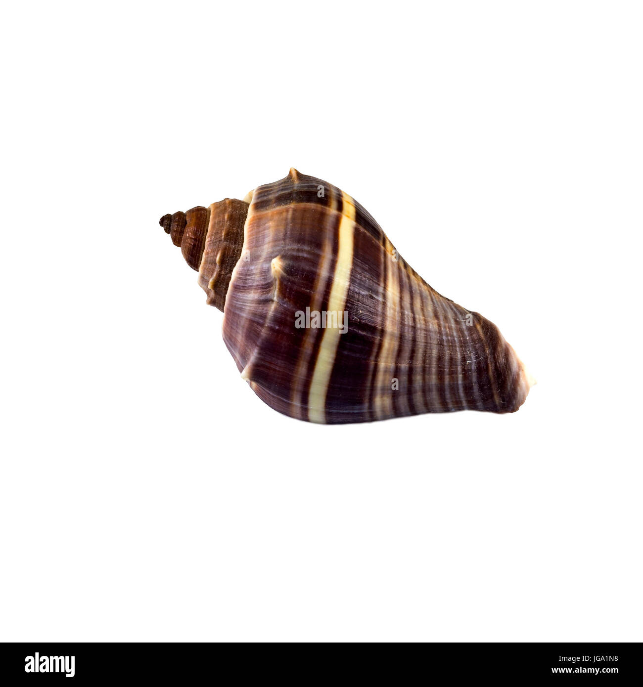 Beautiful sea shell,turbinella angulata, isolated on white background view from the top .For posters, sites, business - Stock Image