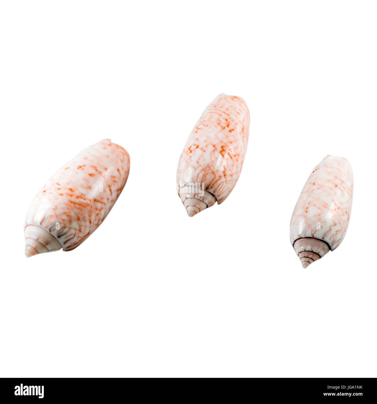 Beautiful sea shell,conus nussatella, isolated on white background view from the top .For posters, sites, business - Stock Image