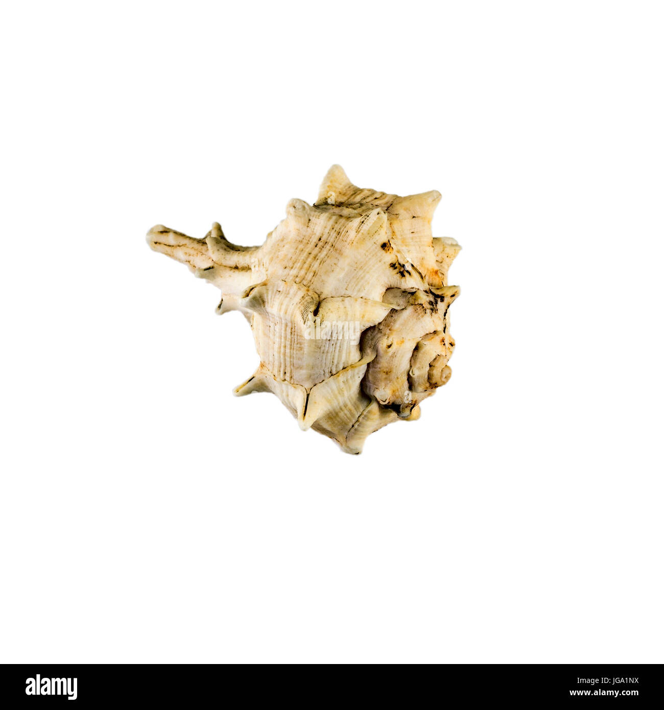 Beautiful sea shell,Drupa rubusidaeus, isolated on white background view from the top .For posters, sites, business - Stock Image