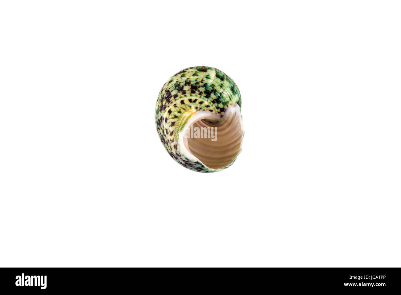 Beautiful sea shell,Polinices lacteus, isolated on white background view from the top .For posters, sites, business - Stock Image