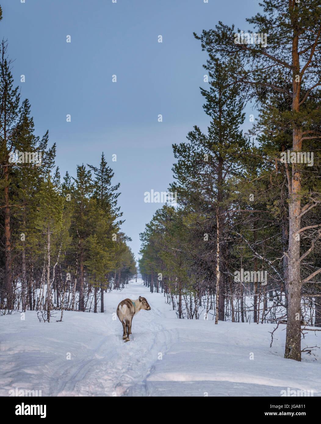 Reindeer in the snow, Lapland, Sweden - Stock Image